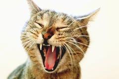滑稽的打呵欠的猫 免版税图库摄影