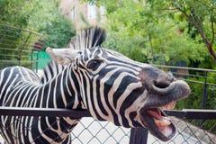 滑稽的斑马 免版税库存照片