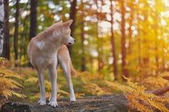 滑稽的日本狗秋田Inu小狗在回顾秋天的森林里 库存图片