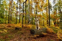 滑稽的日本狗秋田Inu小狗在秋天森林里 库存照片