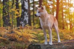 滑稽的日本狗秋田Inu小狗在秋天森林里 免版税库存照片