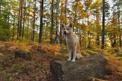 滑稽的日本狗秋田Inu小狗在秋天森林里 图库摄影