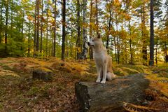 滑稽的日本狗秋田Inu小狗在秋天森林里 库存图片