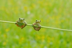 滑稽的本质 两欧洲人雨蛙,雨蛙arborea,坐草秸杆有清楚的绿色背景 在na的精密绿色两栖动物 免版税库存照片