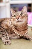 滑稽的欧洲猫佩带的项链 免版税库存照片
