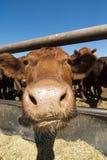 滑稽的母牛 库存照片