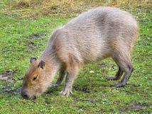 滑稽的水豚在动物园吃草在封入物 水豚是最大的生存啮齿目动物在世界上 免版税库存图片