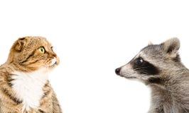 滑稽的浣熊和猫苏格兰人的画象折叠 免版税库存照片