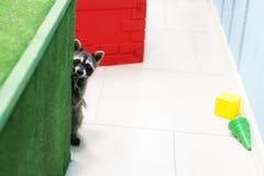 滑稽的浣熊在动物园里 图库摄影