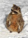 滑稽的浣熊浣熊属lotor在您的在雪的后腿 免版税库存照片