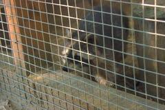滑稽的浣熊看框架 库存图片