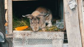 滑稽的灰色大兔子在一只开放笼子看在大红萝卜附近 2个所有时段小鸡概念复活节彩蛋开花草被绘的被安置的年轻人 股票录像