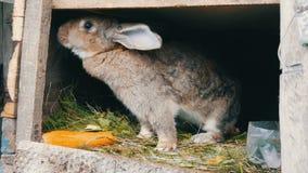 滑稽的灰色大兔子在一只开放笼子看在大红萝卜附近 2个所有时段小鸡概念复活节彩蛋开花草被绘的被安置的年轻人 影视素材