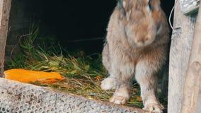 滑稽的灰色大兔子在一只开放笼子看在大红萝卜附近 r 股票视频