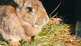 滑稽的灰色大兔子在开放笼子看  股票录像