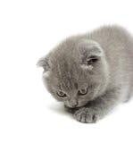 滑稽的灰色小猫 免版税库存照片