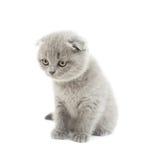 滑稽的灰色英国垂耳小猫 免版税库存照片
