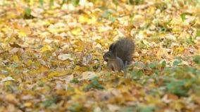 滑稽的灰鼠为冬天、奔跑、跃迁与下橡子在嘴,埋葬、皮橡子在地面或土壤做准备 影视素材