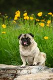 滑稽的爱犬 免版税库存照片