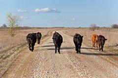 滑稽的牛漫步 图库摄影