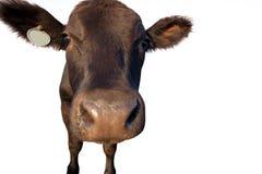 滑稽的牛特写镜头 免版税库存照片