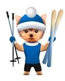 滑稽的狗举行滑雪用滑雪棍子 免版税图库摄影