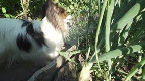 滑稽的狗品种Papillon吃从床股票英尺长度录影的葱 股票录像