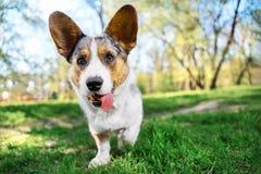 滑稽的狗彭布罗克角威尔士羊毛衫奔跑和戏剧在外面公园 库存照片