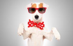 滑稽的狗杰克罗素狗画象在蝶形领结和太阳镜的 免版税库存照片