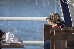 滑稽的狗,坐在前面的一把椅子的硬毛的达克斯猎犬狗 免版税库存照片