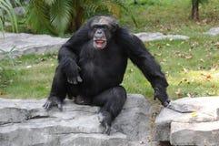滑稽的猩猩姿势 免版税图库摄影