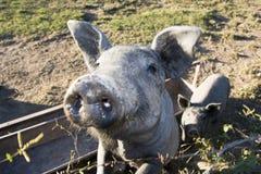 滑稽的猪二 免版税库存图片