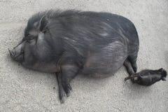 滑稽的猪 库存照片