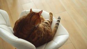 滑稽的猫坐白革椅子在有木地板的明亮的屋子,本身的逗人喜爱的宠物照管里,舔它红色镶边 股票视频