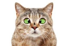 滑稽的猫画象与一次飞行的在他的鼻子 免版税图库摄影