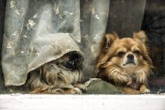 滑稽的疲乏的狗 免版税图库摄影