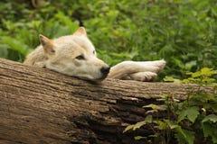 滑稽的白狼 免版税库存图片