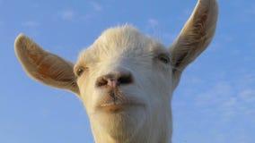 滑稽的白色山羊 股票视频