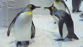 滑稽的皇家企鹅在雪股票英尺长度录影沟通 股票视频