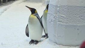 滑稽的皇家企鹅在雪股票英尺长度录影沟通 影视素材