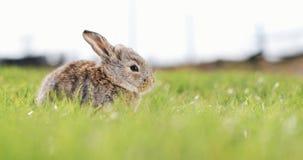 滑稽的矮小的灰色兔子在绿草坐 复活节兔子在庭院里 股票录像