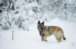 滑稽的红色护羊狗在冬天雪森林里走在期间 库存照片
