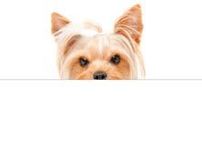 滑稽的约克夏狗画象,偷看从横幅的后面 免版税库存照片