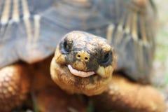 滑稽的草龟 图库摄影