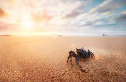滑稽的螃蟹节肢动物在清早时间的日出看 库存图片