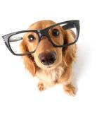 滑稽的达克斯猎犬。 库存照片