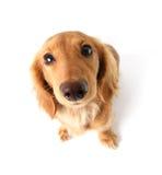 滑稽的达克斯猎犬 库存图片