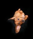 滑稽的达克斯猎犬 图库摄影