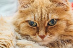 滑稽的逗人喜爱的姜或Rad猫画象 库存图片