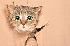 滑稽的逗人喜爱的猫看在箱子的一个被撕毁的孔外面 免版税库存图片
